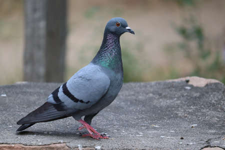 Pigeon on a ground or pavement in a city. Pigeon standing. Dove or pigeon on blurry background. Pigeon concept photo.side shot of rock pigeon Stock Photo