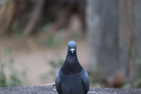 Front view of the face of Rock Pigeon face to face.Rock Pigeons crowd streets and public squares, living on discarded food and offerings of birdseed.close up and portrait shot of pigeon and dove bird