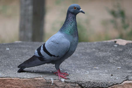 A pigeon or rock dove, Columba livia. Its orange eyes echo the autumn foliage. side view shot of A pigeon or dove