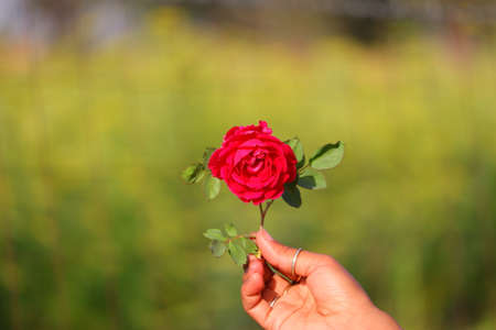 A red rose on girl hand with spring blur background and copy space Standard-Bild - 143295826