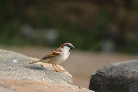 a male colorful sparrow sitting on cement rock with blur background, bird watching