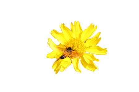a honeybee flying on wild marigold flower with isolated white background 版權商用圖片