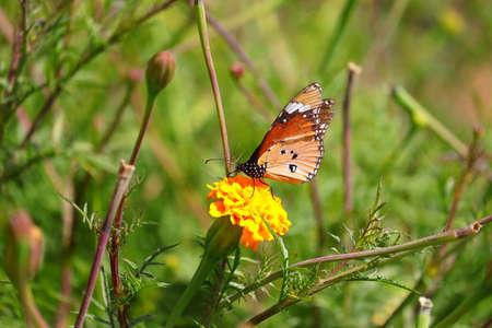 monarch butterfly sucking juice from marigold flower in garden 版權商用圖片