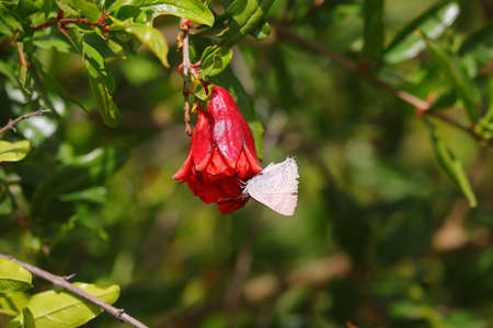 A white butterfly sucking juice from red pomegranate flower in garden 版權商用圖片