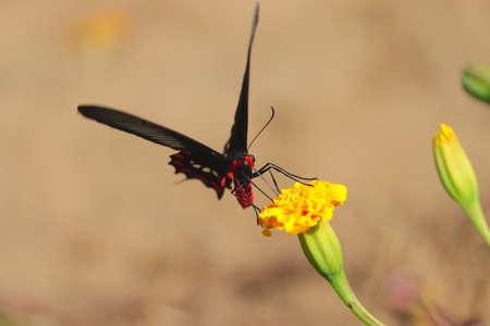 A black butterfly sucking juice from marigold flower in garden 版權商用圖片