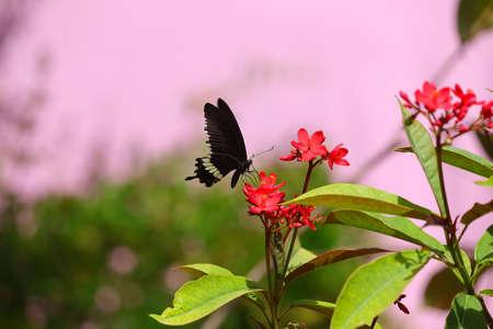 side view of black swallowtail butterfly feeding juice on red flowers in garden