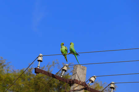 low angle of rose ringed parakeet or parrot couple making love on wire of electricity power, bird watching 版權商用圖片