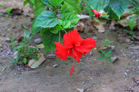 red flower of hibiscus flower grows on the tree in India