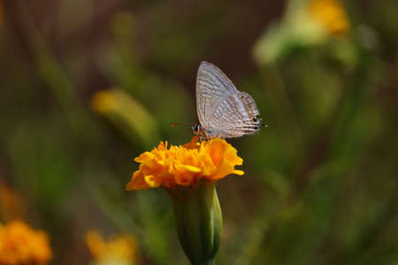 The Blues (Family Lycaenidae) butterfly on the yellow marigold