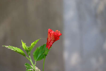 Hibiscus red flower opens in the morning on the plant