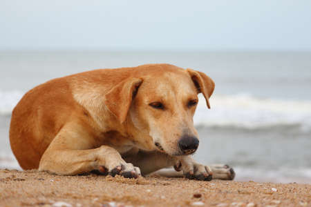A yellow dog lying on the beach to escape the heat Foto de archivo
