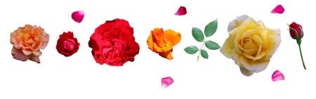 Scattered petals of red pink rose and green rose leaf isolate with different types of roses flowers isolated white background ( yellow, orange, pink , red , colour)