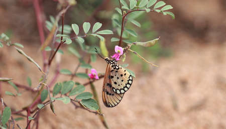 Tawny Coster feeding herbs and honey on the pink wild flower at park in India