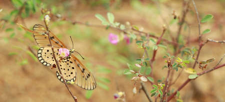 Tawny Coster yellow butterfly feeding herbs on the pink wild flower at park in India 免版税图像