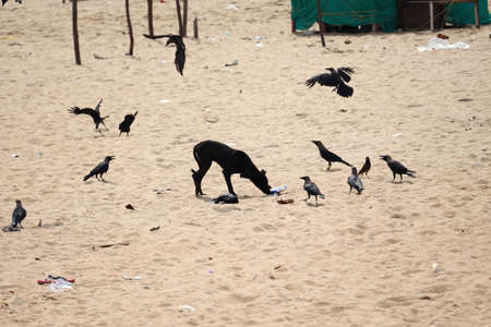 A black dog eats food scattered around the beach sand and crows hover around it