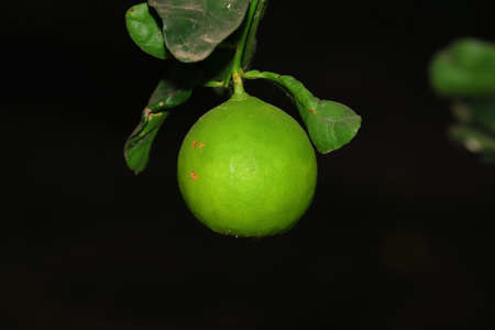 Green raw lemon tree branch hanging on black background