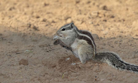 A beautiful squirrel eats wheat germ from the ground