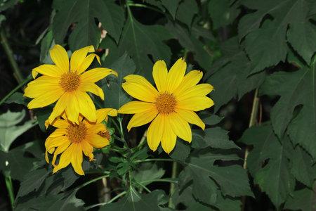 Wild sunflower yellow flowers blooming in the garden 免版税图像