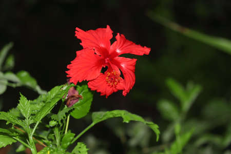 Red hibiscus flower opened in the garden, hibiscus flower royalty free image