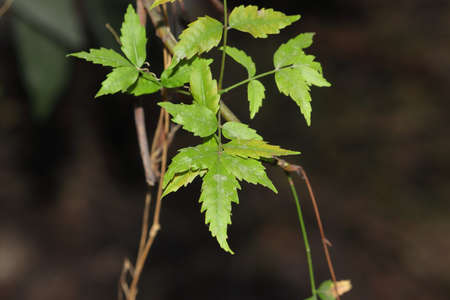 Photo of fresh and healthy neem leaves. , india- Asia