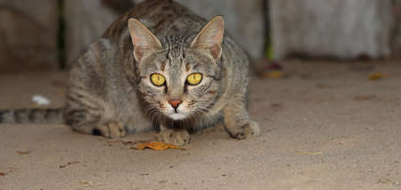 A pet cat sitting in the courtyard of the house looking at the camera, india- Asia