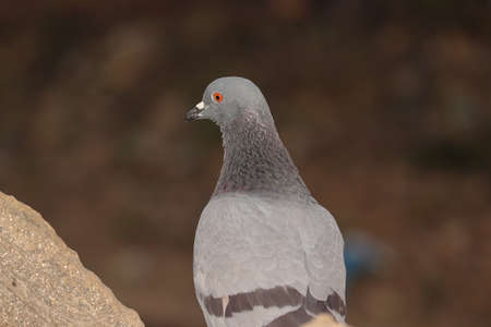 Close up view of a pigeon bird sitting outdoors , india- Asia