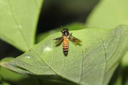 A wild honey bee sitting on the green leaves of a tree in the garden, india. concept for Beekeeping, independent bee and bee habit 免版税图像