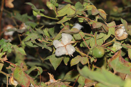 Growing cotton flowers and cotton fiber on healthy and fresh cotton plants, india.concept for Organic and modern farming, promoting cotton textile industry,Conventional modern agriculture