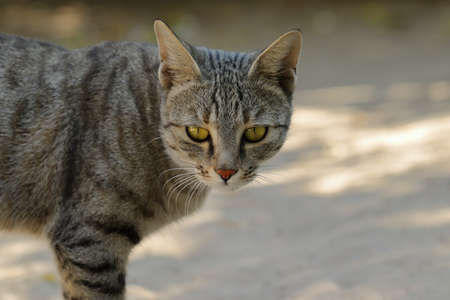 Face of a close-up photo of a cat looking at the camera, india