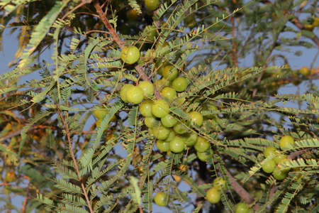Fresh green and vitamin-rich round organic amla fruit on the tree in the garden india. gooseberry fruits