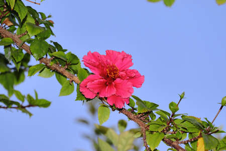 Healthy and fresh red flower blooming on hibiscus plant with clear blue sky background