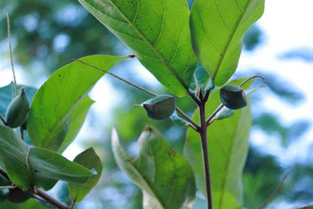 Growing raw green almonds on the almond tree, india.concept for Improved yields, organic farming, natural horticulture, high yield, modern crops