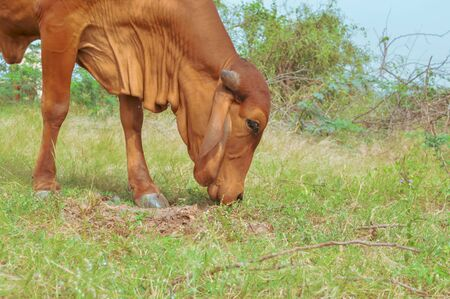 Brazilian cow,zebu Brazilian cow,zebu eating grass