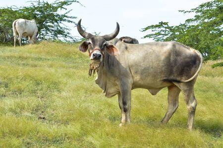 Vaca india en los prados, hermosa vaca en prados de hierba
