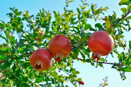 frische rote Granatapfelfrucht auf Ast, grüne Granatapfelblätter und rote Granatapfelfrucht, schöne Granatapfelfrucht und Himmelshintergrund, natürliche Granatapfelfrucht und grüne Blätter,