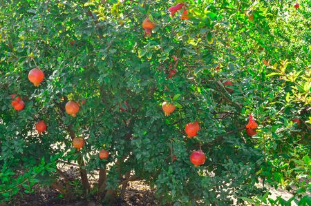 raw pomegranate fruits,agriculture of pomegranate fruits,pomegranate fruits and left,pomegranate (Anar) garden view,pomegranate Cultivation view