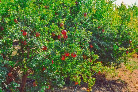 pomegranate fruits Cultivation of India ,anar  garden view,pomegranate fruits close up view,red pomegranate fruits on indian farm,