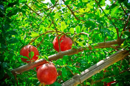 pomegranate fruits Cultivation of India ,anar  garden view,pomegranate fruits close up view,red pomegranate fruits on indian farm,pomegranate fruits farm in Gujarat India close up view