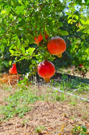 pomegranates growing on a tree in a garden in Greece. organic farm products, healthy food, vegetarian food. Red pomegranate, anar fruits Cultivation in Asia Banco de Imagens