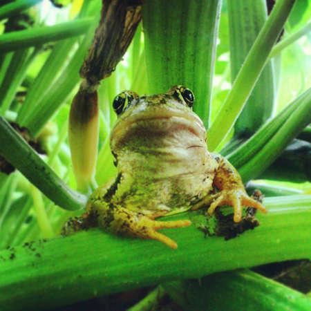 reptilian: Green frog in a garden