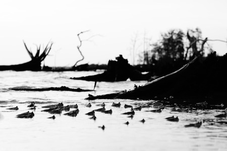 Mudskipper fish playing during dusk in black and white Stock Photo