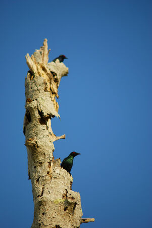 Red eyed crow bird on a dead tree against blue sky
