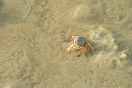 A little crab on sandy beach Stock Photo