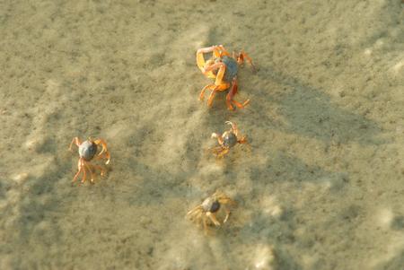 Four little crabs on sandy beach