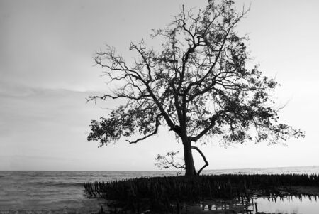 Tree silhouette with mangrove seedlings at beach in black and white Stock Photo - 24278759