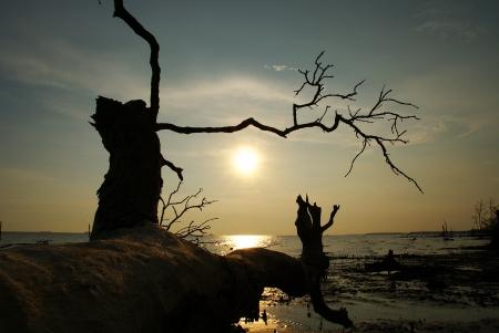 falling tide: Fallen dead tree at a beach sunset scenery