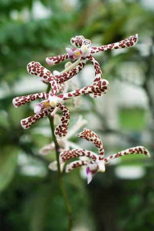 Leopard Aranda Orchids flower close-up