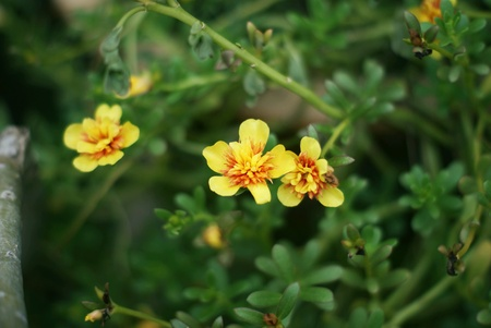 Small potted yellow flowers