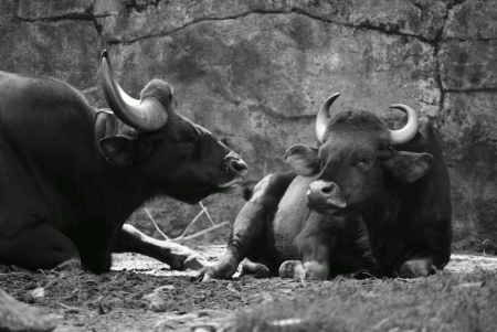 nose: Two young female or cow cape buffalo