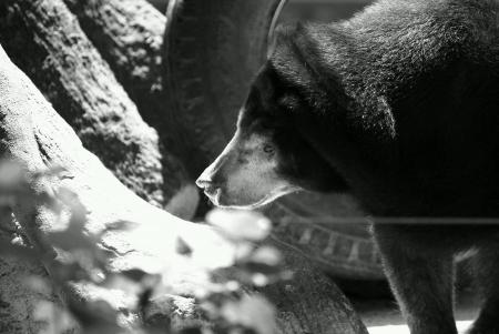 oso negro: Oso negro que juega con el neum�tico colgado